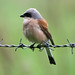 Red-backed Shrike - Photo (c) Vitaliy Khustochka, some rights reserved (CC BY-NC)