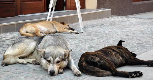 Street Dogs-Bucharest