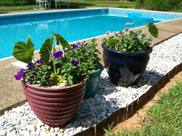 Pool planters elephant ear petunias flickr photo for Garden elephant pool