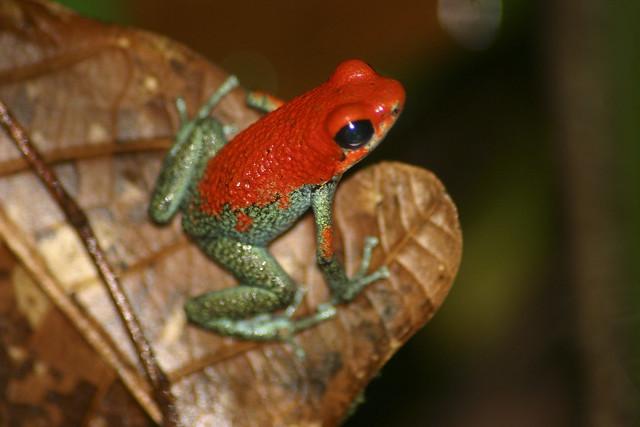 Granular Poison Dart Frog