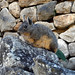 Small photo of Peru, Machu Pichhu, Viscacha