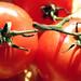 Sunlit Tomatoes