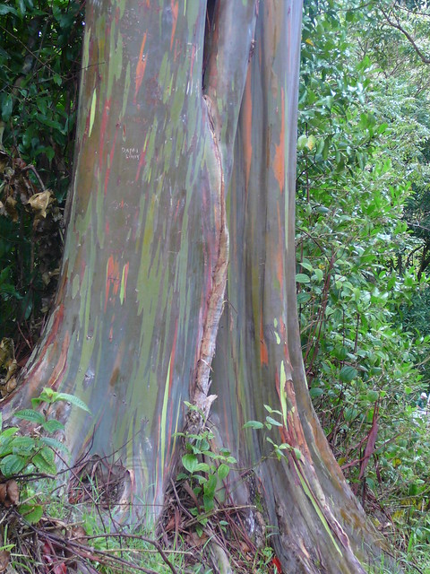 Painted eucalyptus trees