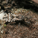 alföldi rablópoloska - Coranus subapterus