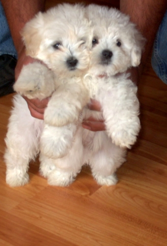 Maltipoo Puppies For Sale In Nc Maltipoo Puppies For Sale In Nc