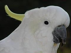 wing(0.0), cockatoo(1.0), animal(1.0), pet(1.0), sulphur crested cockatoo(1.0), fauna(1.0), parakeet(1.0), common pet parakeet(1.0), beak(1.0), bird(1.0),