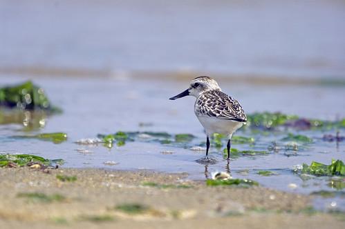 報告表示,地球上最受生存威脅之一的勺嘴鷸(spoon-billed sandpiper),保育情況仍不樂觀。(來源:ken)