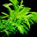 "Hygrophila difformis ""variegated"""