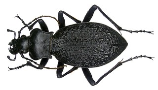Carabus caschmirensis caschmirensis Redtenbacher, 1842