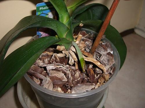 Orchidea forum di for Radici orchidea