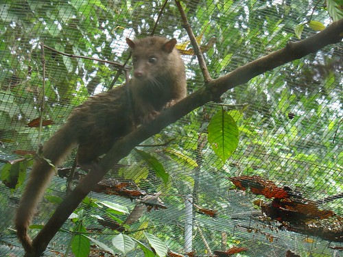 Cevit Cat that poos out coffe for Kopi Luwak