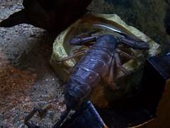 arthropod, animal, scorpion, seafood, invertebrate, fauna,