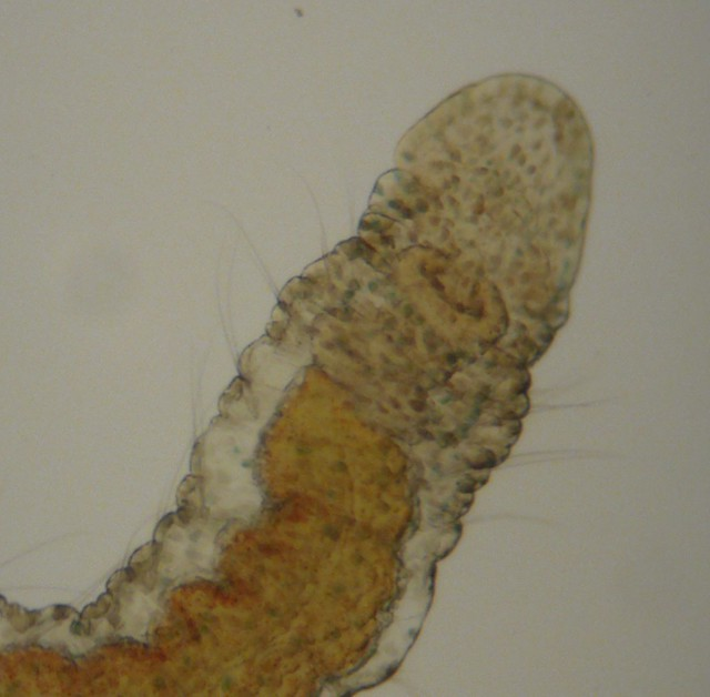 Header of Aeolosoma