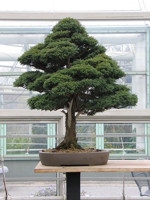 Chamaecyparis pisifera 'squarrosa' in the Bonsai Museum. Photo by Julian Velasco.