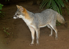 czechoslovakian wolfdog(0.0), gray wolf(0.0), red wolf(0.0), wolfdog(0.0), saarloos wolfdog(0.0), animal(1.0), mammal(1.0), jackal(1.0), grey fox(1.0), fauna(1.0), kit fox(1.0), coyote(1.0), wildlife(1.0),