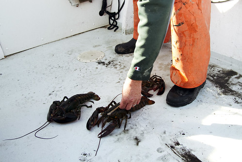 measuring the lobsters