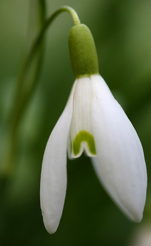 Snowdrop at Waldershare