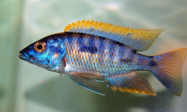"Aulonocara ""Blue Gold"" Orange Shoulder Peacock ~… | Flickr ..."