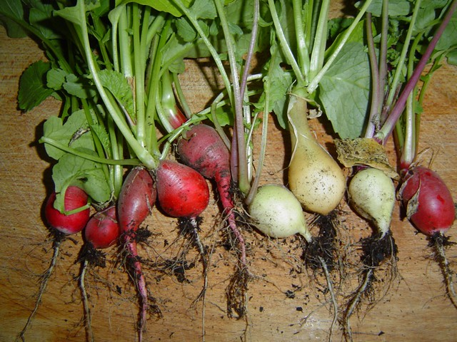 Radishes as Christmas lights?