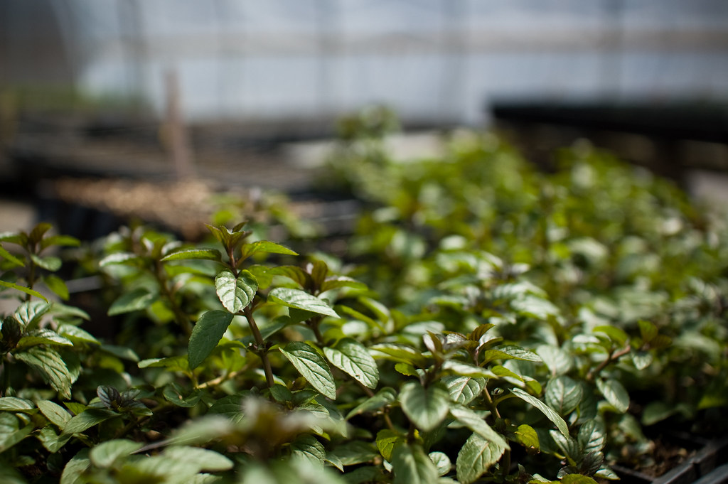 Greenhouse Peppermint