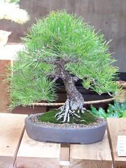 sageretia theezans(0.0), tree(1.0), plant(1.0), houseplant(1.0), bonsai(1.0),
