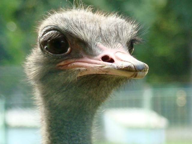 Funny Ostrich Face
