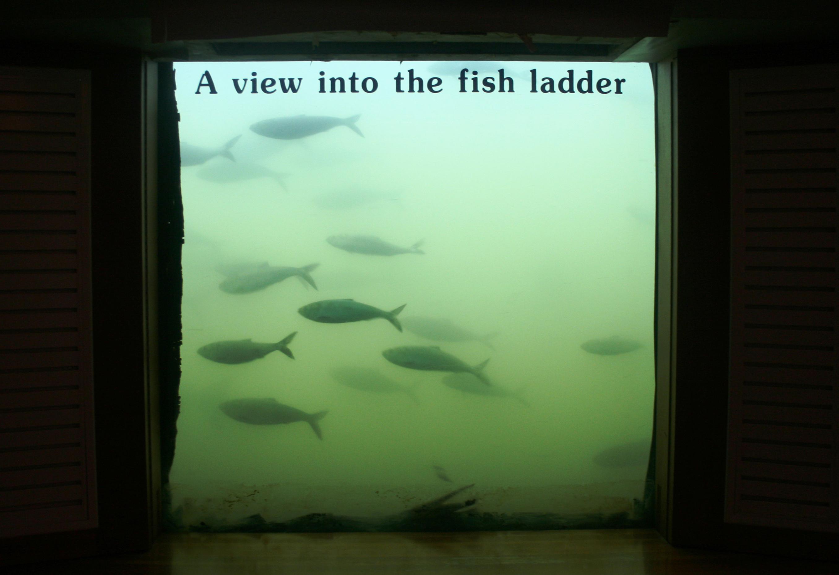 Fish ladder bonneville dam columbia river through the for Bonneville fish count