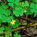 Yellow Woodsorrel - Photo (c) Jerry Oldenettel, some rights reserved (CC BY-NC-SA)