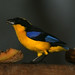 Blue-winged Mountain-Tanager - Photo (c) David Cook Wildlife Photography, some rights reserved (CC BY-NC)