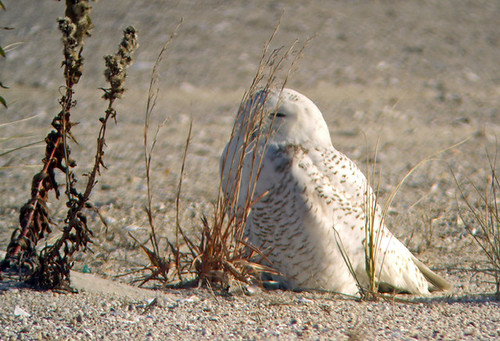 Jones Beach: Snowy Owl again!