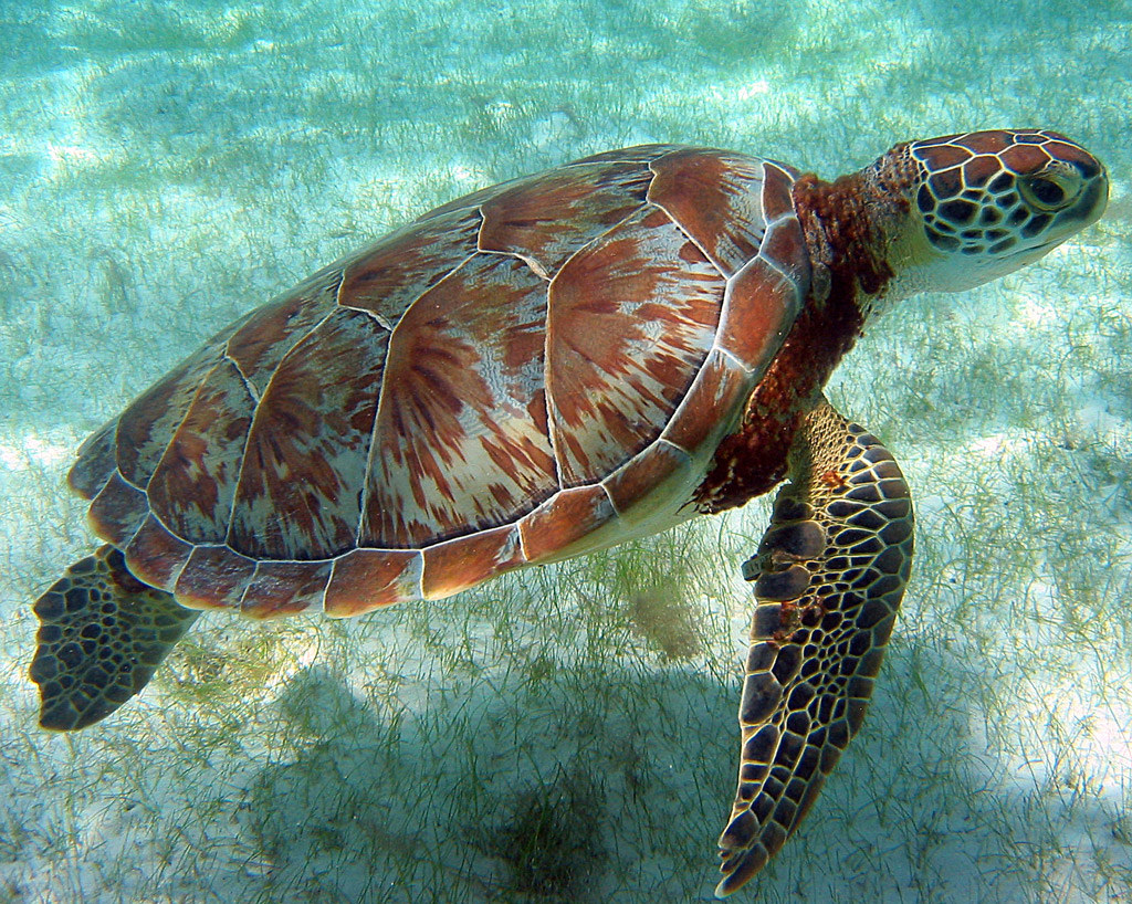 Green turtle, Akumal Mexico - a photo on Flickriver