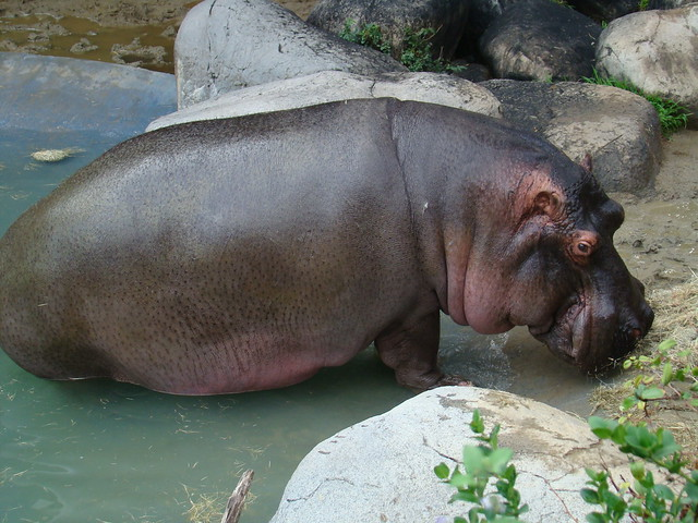 Hippo at the Los Angeles Zoo   Flickr - Photo Sharing! Losangeles