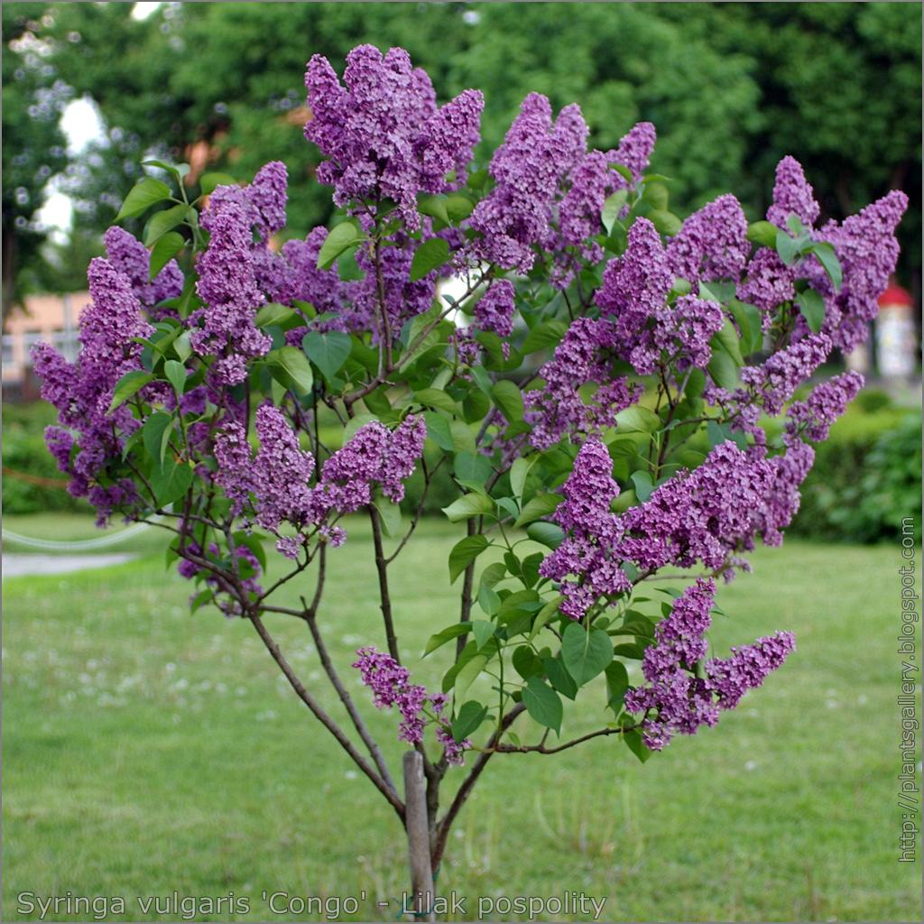 Plant gallery encyklopedia ro lin syringa vulgaris for Syringa vulgaris
