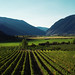 Orofino | Celentano Vineyard