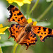 Satyr Comma - Photo (c) David Hofmann, some rights reserved (CC BY-NC-ND)