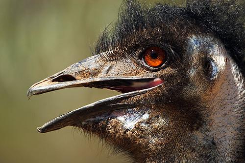 Emu, Wagga Wagga, New South Wales, Australia IMG_4291_Emu