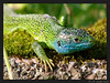 "<a href=""http://www.flickr.com/photos/cameland/2578725699/"">Photo of Lacerta viridis by Anne SORBES</a>"