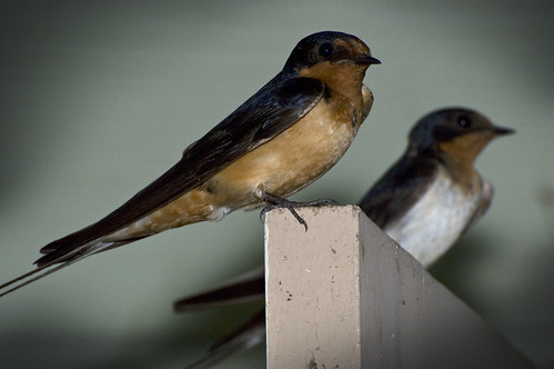 bird texas tx swallow barnswallow hirundorustica hirundo hirundorusticaerythrogaster