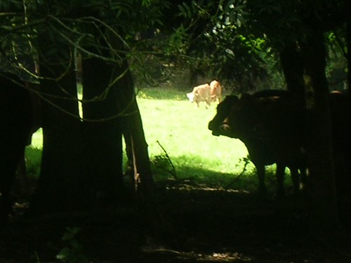 Cows in the shade