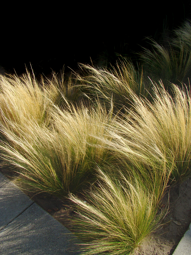 Nassella tenuissima formertly stipa tenuissima mexican for Ornamental feather grass