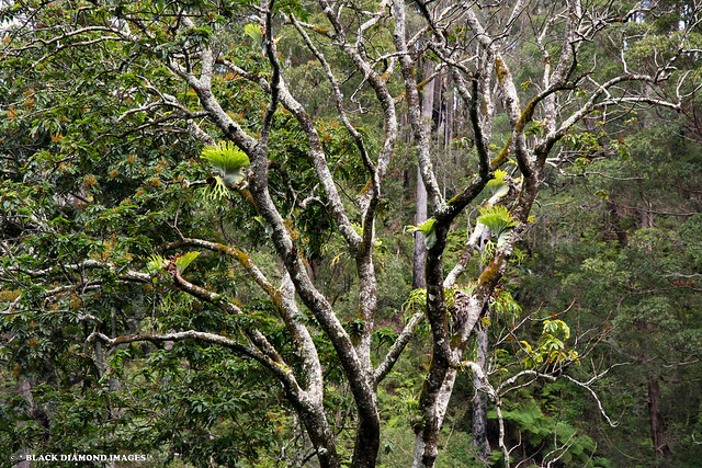 Diploglottis australis (Native Tamarind) and Platycerium superbum (Staghorn)