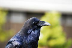 perching bird(0.0), jay(0.0), wildlife(0.0), animal(1.0), wing(1.0), raven(1.0), nature(1.0), crow(1.0), fauna(1.0), close-up(1.0), american crow(1.0), beak(1.0), bird(1.0), rook(1.0),