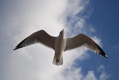 Sea gull of NYC