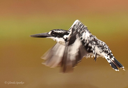Pied Kingfisher_20110429_8573_.jpg