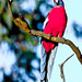 Crimson Rosella enjoying the sun. Canberra, Australia. ©2010
