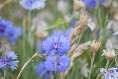 annual plant, jasione montana, flower, herb, wildflower, flora,