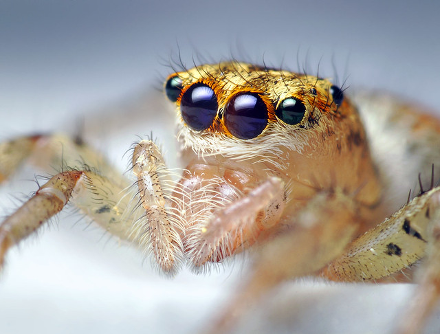 Female Maevia inclemens Jumping Spider