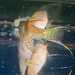 Aphyosemion gabunenense spawning