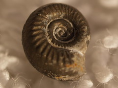 snail(0.0), animal(1.0), sea snail(1.0), invertebrate(1.0), macro photography(1.0), seashell(1.0), nautilida(1.0), close-up(1.0), snails and slugs(1.0),