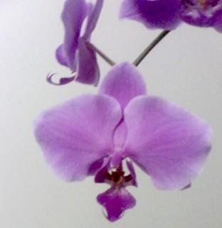 outra orquidea